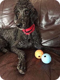 Poodle (Standard) Dog for adoption in Sharon Center, Ohio - Chloe