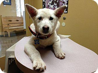 Australian Cattle Dog Mix Puppy for adoption in Jemez Pueblo, New Mexico - Aurora