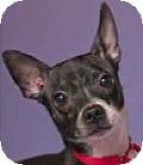 Chihuahua Mix Dog for adoption in Chicago, Illinois - Doug