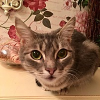 Domestic Shorthair Kitten for adoption in Orlando, Florida - Wile E (KJ) 7.1.15