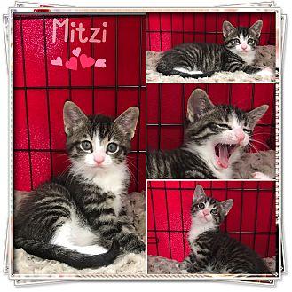 Domestic Shorthair Kitten for adoption in Jeffersonville, Indiana - Mitzi