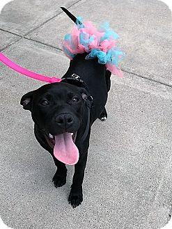 Labrador Retriever/Pit Bull Terrier Mix Dog for adoption in Wichita Falls, Texas - Cupid