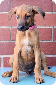 Bloodhound Mix Puppy for adoption in Waldorf, Maryland - Hillary