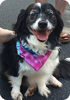Border Collie/Corgi Mix Dog for adoption in Alpharetta, Georgia - Zeke