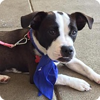 Adopt A Pet :: Bindi - Potomac, MD