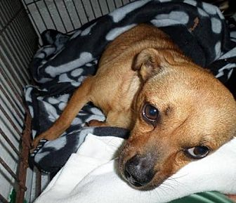 Chihuahua/Miniature Pinscher Mix Dog for adoption in Columbia, South Carolina - Zooey