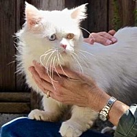 Adopt A Pet :: Thaddeus - Davis, CA
