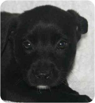 Labrador Retriever Mix Puppy for adoption in Windham, New Hampshire - Jo
