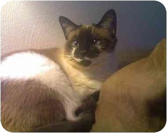 Siamese Cat for adoption in Xenia, Ohio - Ally *FREE/Urgent!