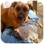 Photo 2 - Bullmastiff/Shepherd (Unknown Type) Mix Dog for adoption in Mount Kisco, New York - Forrest-no fee