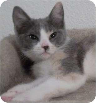 Domestic Shorthair Kitten for adoption in North Highlands, California - Lisa