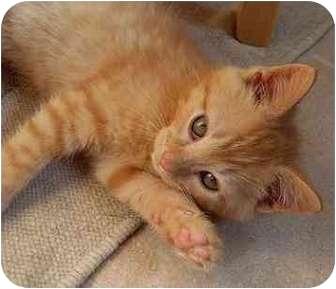 Domestic Shorthair Kitten for adoption in Portland, Oregon - Cheeto