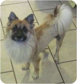 Pomeranian Mix Dog for adoption in Hagerstown, Maryland - Reba