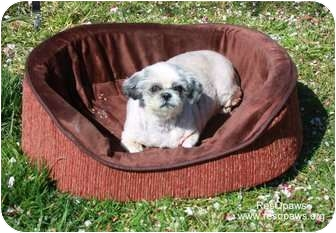 Shih Tzu Dog for adoption in Yuba City, California - Muffin