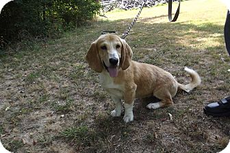 Basset Hound/Cocker Spaniel Mix Dog for adoption in Jackson, Tennessee - Dolly Madison