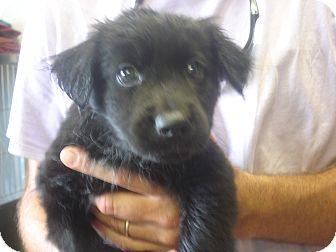Border Collie Mix Puppy for adoption in Manassas, Virginia - Texas holdem