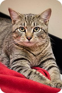 Domestic Shorthair Cat for adoption in Chicago, Illinois - Teddy Taffy