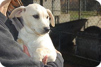 Labrador Retriever Mix Puppy for adoption in Bel Air, Maryland - Brook