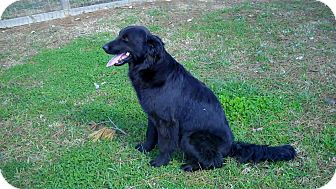 Flat-Coated Retriever Dog for adoption in BIRMINGHAM, Alabama - Olivia