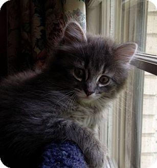 Domestic Mediumhair Kitten for adoption in Hendersonville, Tennessee - Nougat