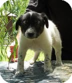 Border Collie/Australian Cattle Dog Mix Puppy for adoption in Hagerstown, Maryland - Boomarang