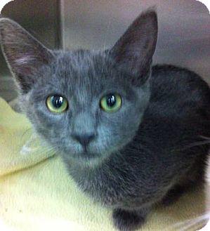 Russian Blue Kitten for adoption in Riverside, California - Czar