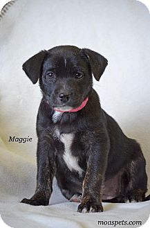 Terrier (Unknown Type, Small)/Boston Terrier Mix Puppy for adoption in Danielsville, Georgia - Maggie