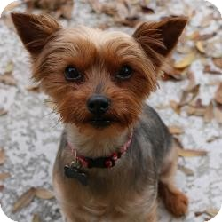 Yorkie, Yorkshire Terrier Dog for adoption in Clearwater, Florida - Gadget