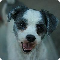 Adopt A Pet :: Shammy - Canoga Park, CA
