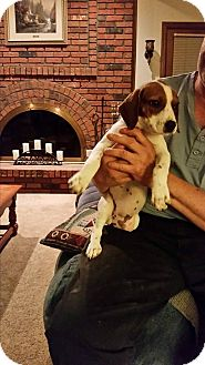 Beagle Mix Puppy for adoption in ST LOUIS, Missouri - Sprinkles