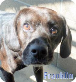 Beagle/Pug Mix Dog for adoption in Georgetown, South Carolina - Franklin