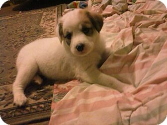 Great Pyrenees Mix Puppy for adoption in Coats, North Carolina - snowball