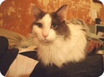 Domestic Longhair Cat for adoption in Vancouver, British Columbia - Shmoo