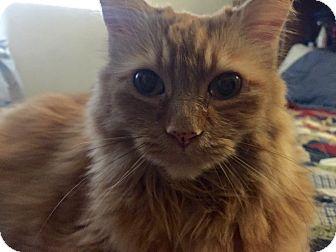 Maine Coon Cat for adoption in Cerritos, California - Opal