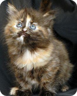 Domestic Mediumhair Kitten for adoption in Newland, North Carolina - Viola