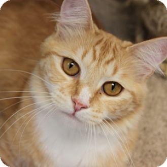Domestic Mediumhair Cat for adoption in Naperville, Illinois - Pumpkin