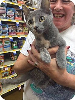 Calico Kitten for adoption in Rocklin, California - SMOKE