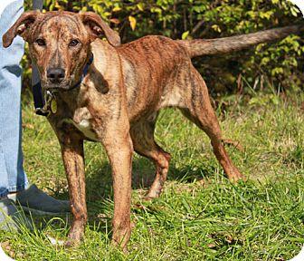 Plott Hound/Hound (Unknown Type) Mix Puppy for adoption in Staunton, Virginia - Chig
