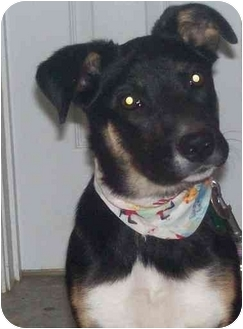 Border Collie Mix Puppy for adoption in Chapel Hill, North Carolina - Landry