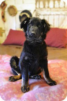 German Shepherd Dog Mix Puppy for adoption in Staunton, Virginia - Rigsby
