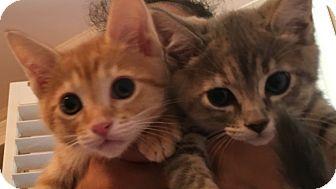 Domestic Shorthair Kitten for adoption in Burbank, California - Bonded Kittens Cheetah Oona