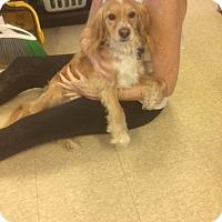 Adopt A Pet :: Dylan - Fair Oaks Ranch, TX