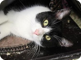 Domestic Shorthair Cat for adoption in Indianapolis, Indiana - Marisol