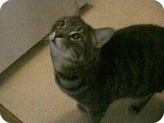 Domestic Mediumhair Cat for adoption in Walnut Creek, California - Ziggy