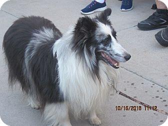 Sheltie, Shetland Sheepdog Dog for adoption in apache junction, Arizona - Taylor