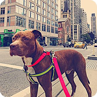 Pit Bull Terrier Mix Dog for adoption in New York, New York - LOBSTER