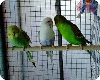 Parakeet - Other for adoption in Greensburg, Pennsylvania - Parakeets