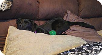Labrador Retriever Mix Puppy for adoption in Brattleboro, Vermont - Lori