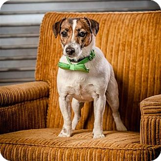 Jack Russell Terrier Mix Dog for adoption in Concord, North Carolina - Fonzie