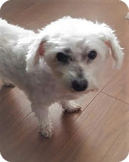 Bichon Frise/Poodle (Toy or Tea Cup) Mix Dog for adoption in Mississauga, Ontario - Bobbie